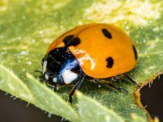 Ladybug | by Hedonist.Photography Ladybug, Olympus Digital Camera, Nature, Photography, Lady Bug, Fotografie, Photo Shoot, The Great Outdoors, Natural