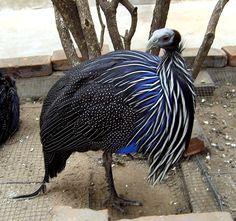 galinha vulturina - Pesquisa Google