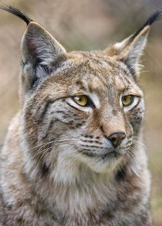 Another lynx portrait | I'm happy that I could take some nic… | Flickr