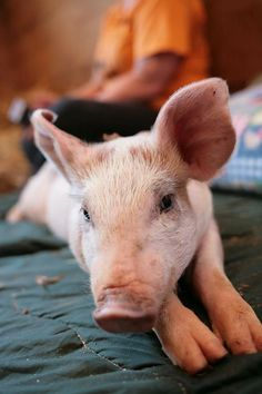 This is Lillie. She lives at The Gentle Barn Tennessee Pet Pigs, Baby Pigs, Beautiful Stories, Animals Beautiful, Pot Belly Pigs, Funny Pigs, Fun Games For Kids, Little Pigs, Sea Creatures