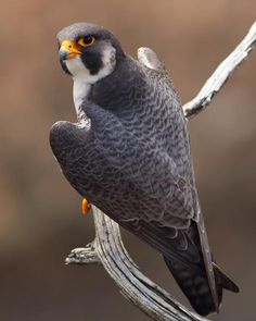 Color Pencil Sketch, Painted Rock Animals, Bird Types, Wings Drawing, World Birds, Peregrine Falcon, Cute Paintings, Pet Rocks, Bird Drawings