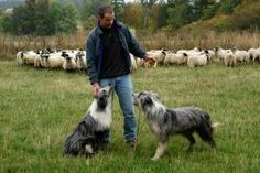 A Picture of Jim Fairlie with his two dogs in a field in front of a flock of sheep.