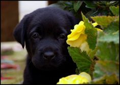 Adorable Black Lab
