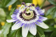 How to Germinate Passiflora Exotic Flowers, Colorful Flowers, Perennial Flowering Vines, Passion Fruit Plant, Color Lavanda, X Picture, Best Perennials, Climbing Vines, Growing Seeds