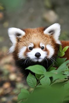 Homer, a young red panda.