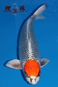 Your beauty is unique ♥ Pretty Fish, Beautiful Fish, Koy Fish, Koi Painting, Betta Fish Types, Goldfish Pond, Carpe, Japanese Koi, Koi Carp