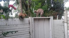 My daughter's daft dog on a mission to eradicate intruders obviously got stuck and needed rescuing!