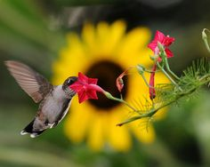 Hummingbird sampling Red Cyprus with sunflower in the background. Via Flickr