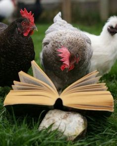 Educated Chickens