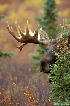 .Moose - Such a sad thing - it's SO mindless.. to kill a creature. http://www.easternwoodsandwaters.ca/index.php?option=com_content&view=article&id=77:disappearing-mainland-moose&catid=13:wildlife-habitat&Itemid=71 http://news.discovery.com/animals/endangered-species/moose-in-trouble-as-climate-boosts-pests-13105.htm