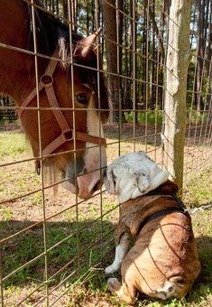 5 Reasons Why I Love English Bulldogs. www.bullymake.com