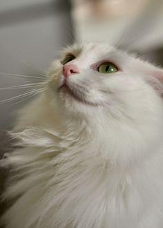 a9d3bde3fc 18 Best Beautiful Turkish Angora Cat Photography images