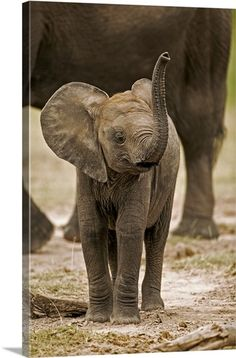 Draw Animals Photographic Print: Baby Elephant Poster by Martin Harvey : - Cute Baby Elephant, Cute Baby Animals, Animals And Pets, Funny Animals, Draw Animals, Wild Animals, Elephants Photos, Save The Elephants, Baby Elephants