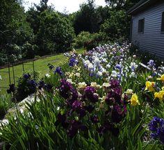 Beautiful Iris Garden