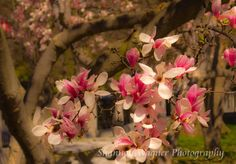 Spring Magnolias  Photograph by Shannon Wagner