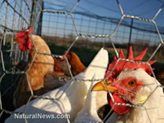 America s small farmers are once again under attack this time by a new draft guidance issued by the U S Food and Drug Administration FDA that threatens to eliminate truly free range and pastured poultry and eggs Entitled Questions and Answers Regarding th