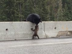 Bear pulls cub to safety from busy highway Tornado hunter Ricky Forbes captures video of rescue in Kootenay National Park  May 20, 2014 by D...
