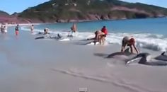 Humans saving dolphins after they beached themselves.