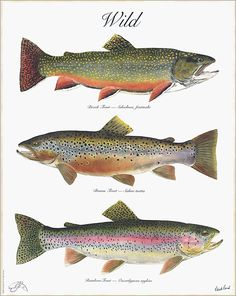 Fishing Discover The WILD Poster a 3 trout poster by Flick Ford with a Brook Trout a Brown Trout and a Rainbow Trout. Going Fishing, Best Fishing, Fishing Lures, Fly Fishing, Fishing Rods, Fishing Tricks, Women Fishing, Crappie Fishing, Saltwater Fishing