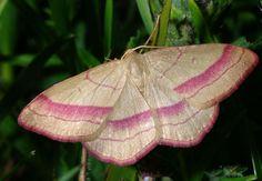 geometer moth | Geometer+Moth.jpg