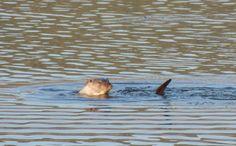 Nutria en el Valle Mágico de Guadalmez Animals, Otters, Animales, Animaux, Animal, Animais
