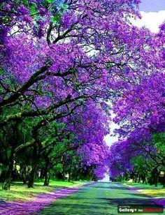 Jacracanda Street , Sydney, Australia; I wonder if it smells as heavenly as it looks!?!