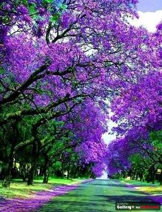Jacracanda Street , Sydney, Australia
