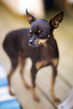 Russian Toy Terrier, via Flickr. Russian Cat Breeds, I Love Dogs, Cute Dogs, Russian Toy Terrier, Hogans Heroes, Dog Breeds List, Dog Rules, Wild Dogs, Dog Friends