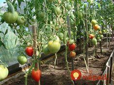 Dobrá rada stojí groš: Toto robím pri sadení rajčín už roky a plody sú sladučké, zdravé a nemusím riešiť pleseň ani choroby! Orchids, Diy And Crafts, Gardening, Fruit, Vegetables, Pergola, Food, Belle, Hothouse