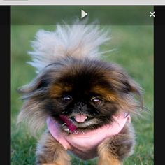 Are you in the mood to see some adorable photos of Pekingese puppies? This is a list of some of the cutest Pekingese puppies ever. Animals And Pets, Baby Animals, Funny Animals, Cute Animals, Baby Dogs, Pet Dogs, Dog Cat, Pet Pet, Pekingese Puppies