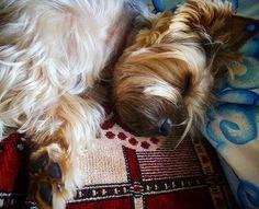 After walking Asuka the #Yorkie #yorkshireterrier #yorkiediaries #yorkielife #instayorkie #yorkiegram #pet #dog #yorkiesarethebest