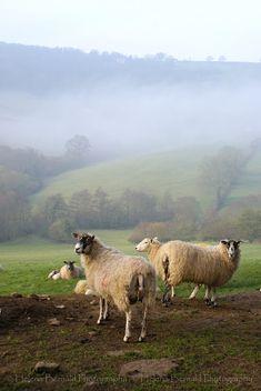 some sheep -- and beauty!  Helena Bernald Photography