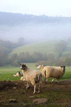 Lovely English sheep in the English countryside.