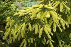 Conifers cont.  Picea abies 'Perry's Golden'  in new growth in early June.