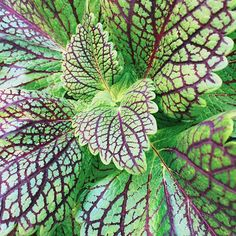 f3ded898d4 I really love coleus -- there are so many beautiful colors and patterns to  choose