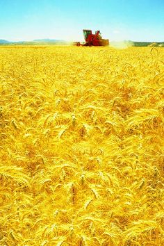 Field of yellow wheat.