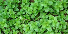 como plantar e variedades de  Menta ou hortelã