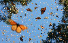 Cada invierno, cientos de millones de insectos realizan un viaje de varios miles de kilómetros, a pesar de que cada uno pesa menos que un billete de euro. En uno de los fenómenos más espectaculares del mundo natural, las mariposas monarca migran desde Canadá y el norte de los Estados Unidos a México y California, donde cubren los bosques de pinos en naranja, blanco y negro.