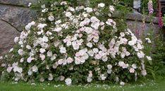 Stanwell Perpetual är något så ovanlig som en pimpinellros som remonterar. Visserligen blommar den inte lika rikt på hösten men den blommar fram till första frosten. Efter huvudblomningen brukar jag…