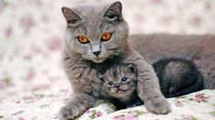 cat gray free download hd wallpapers