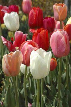 types of tulips