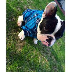 """""""F r i d a y !"""", Prince Pierre, the French Bulldog Puppy, @prince_pierre_the_frenchie http://ift.tt/1sIRt29"""