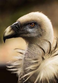 Griffon Vulture - Buitre by Jose Gonzalez All Birds, Birds Of Prey, Love Birds, Pretty Birds, Beautiful Birds, Animals Beautiful, Animal Original, Animals And Pets, Cute Animals