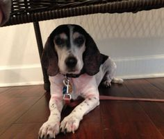Lost Dog - Beagle - Midway, FL, United States