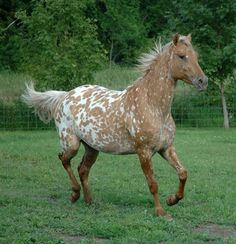 Horses for sale – Appaloosa Horse Germany Just horse For sale appistude – Favuring Horses And Dogs, Horses For Sale, Wild Horses, Most Beautiful Horses, All The Pretty Horses, Animals Beautiful, Horse Markings, Appaloosa Horses, Leopard Appaloosa