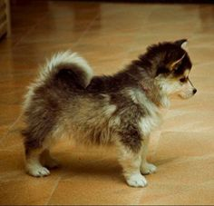 pomsky = pomeranian + husky  I could actually give in & have a small dog if it was this cute!