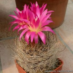 Mini-Show Cactus June Eriosyce, Neochilenia, and Neoporteria Cactus Art, Fauna, Cacti And Succulents, Herbs, Mini, Gardening, Google, Plants, Flowers