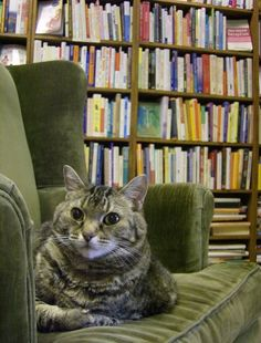 Bookstore Cat, Alice, mascot of The Dusty Bookshelf in Lawrence, KS.  She looks wise!
