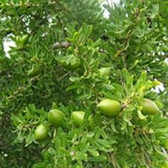 """Our Argan oil is produced in Morocco using the same traditional techniques that have been used for centuries. Argan oil is a natural """"anti-aging"""" remedy that is derived from an olive-like fruit grown in the arid valleys of southwestern Morocco. $14.00 #argan #aromatherapy #skincare #health Aromatics International"""