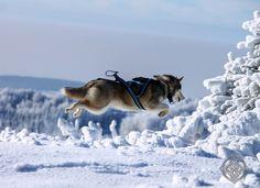 Flying Enya | by Jan Svoboda - Norra Vargar Siberians